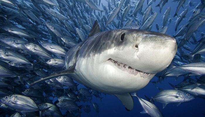 El-Tiburón-Es-Un-Pez