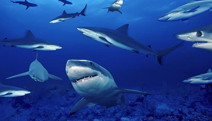 Los tiburones tienen agallas