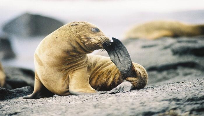 León Marino de las Galapagos