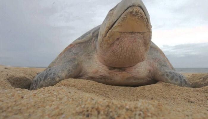 La tortuga trata de sellar bien el nido