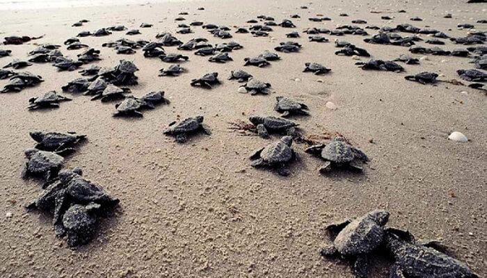 Las tortuguitas se dirigen al mar