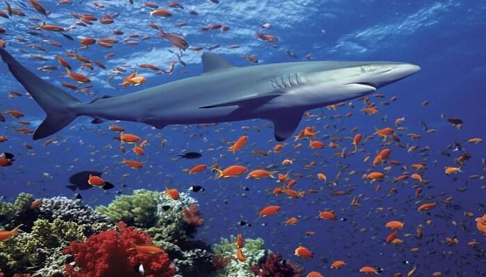 Cómo Mueren Los Tiburones