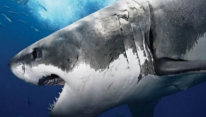 Cómo Respira El Tiburón Blanco