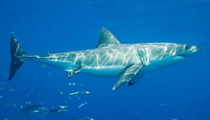 El tiburón blanco tiene branquias