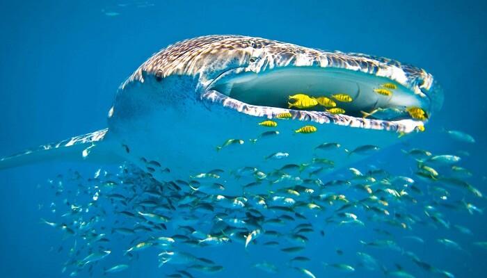 Filtración del agua del Tiburón Ballena