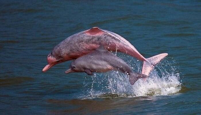 Delfín Rosado Y Cría