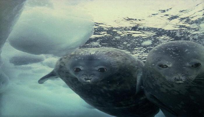Otra especie La Foca Polar