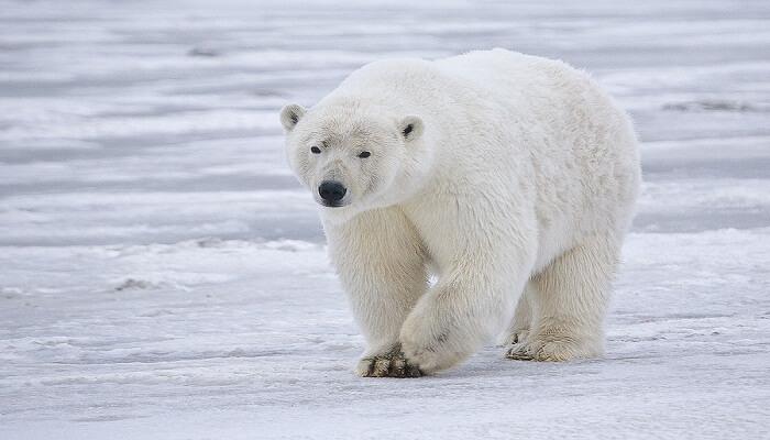 Oso Polar Y Su Hábitat