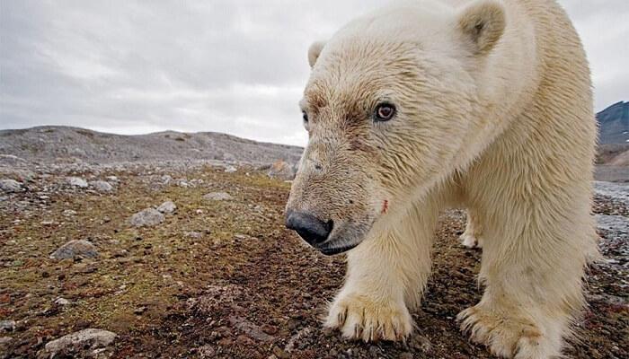 Porque El Oso Polar Esta En Peligro De Extinción