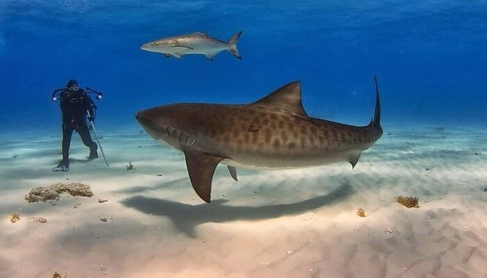 Tiburón Tigre Joven