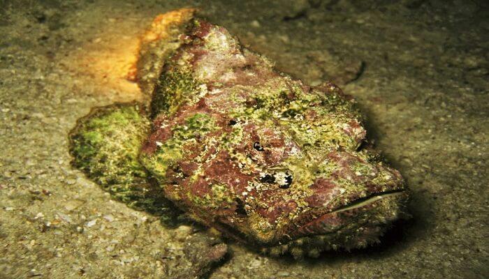 caracteristicas del pez piedra