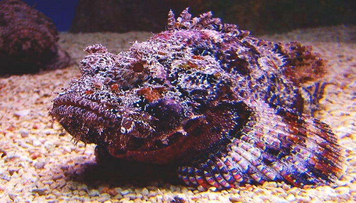 fotos de pez piedra