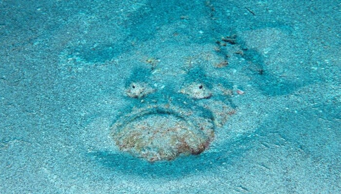 pez piedra alimentación
