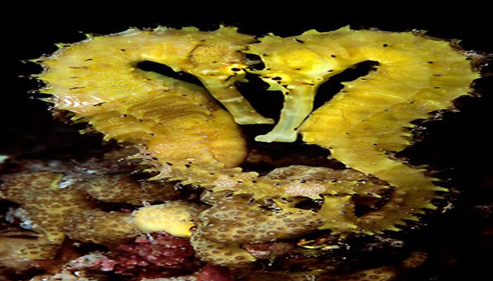 La hembra Deposita los huevos en el Macho