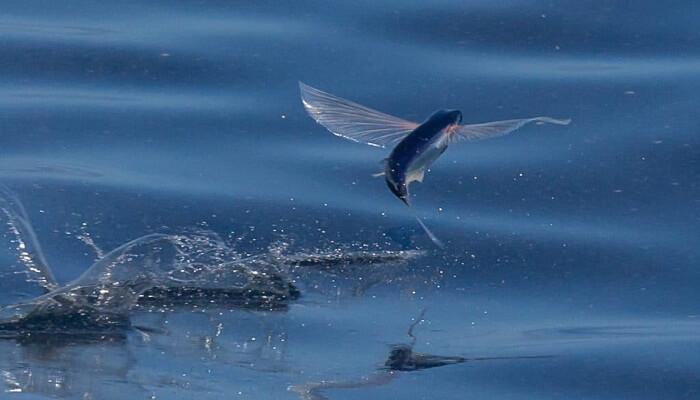 Que Come El Pez Volador