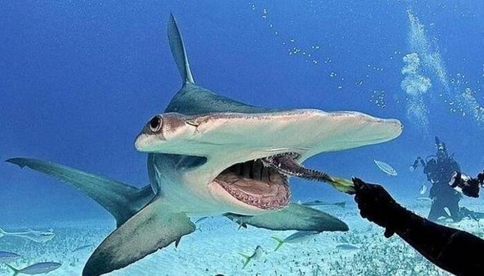 de que se alimenta el tiburon martillo