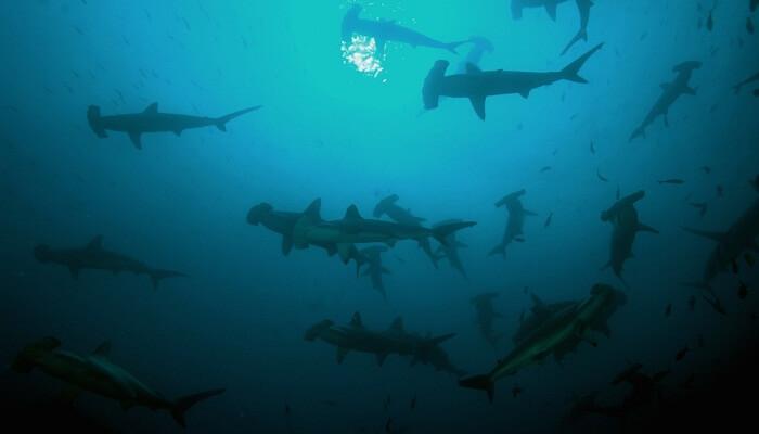 Tiburones martillo en grupo