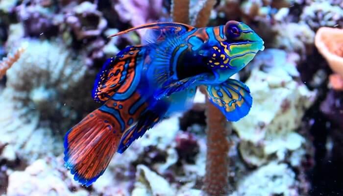El pez mandarin