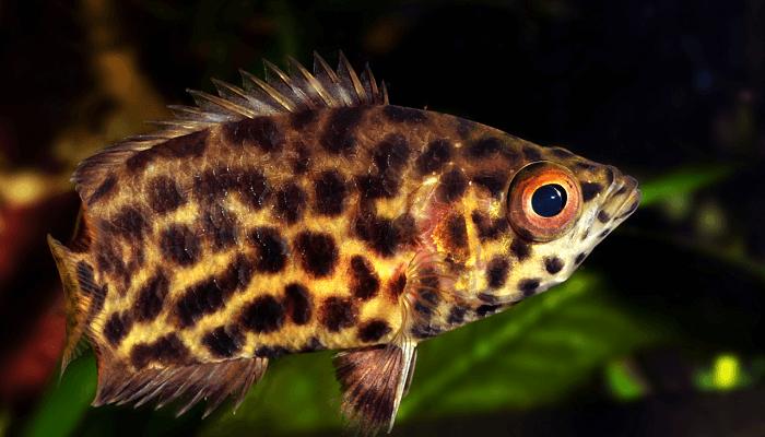 Ctenopoma Acutirostre