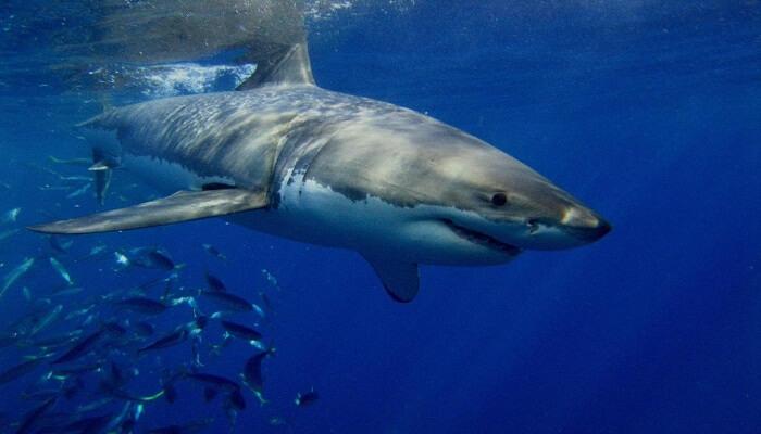 Tiburones En El Mar Caribe