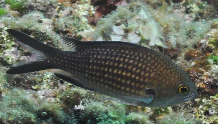 pescado castañuela