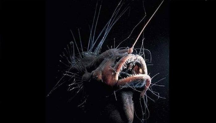 Melanocetidae