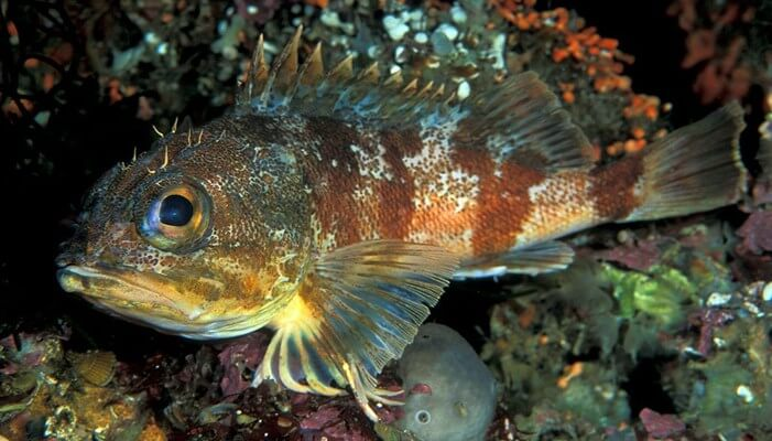 pez chancharro