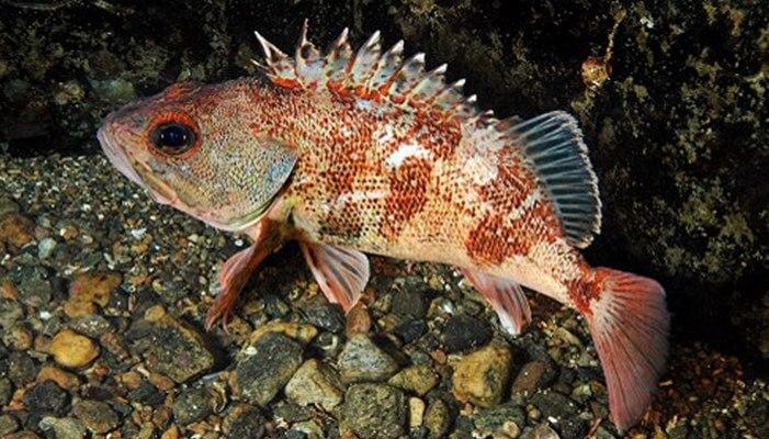 Especie del pez chancharro