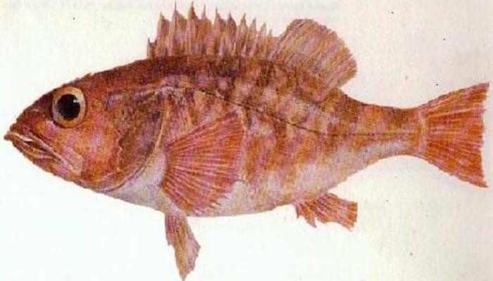 cuerpo del pez chancharro