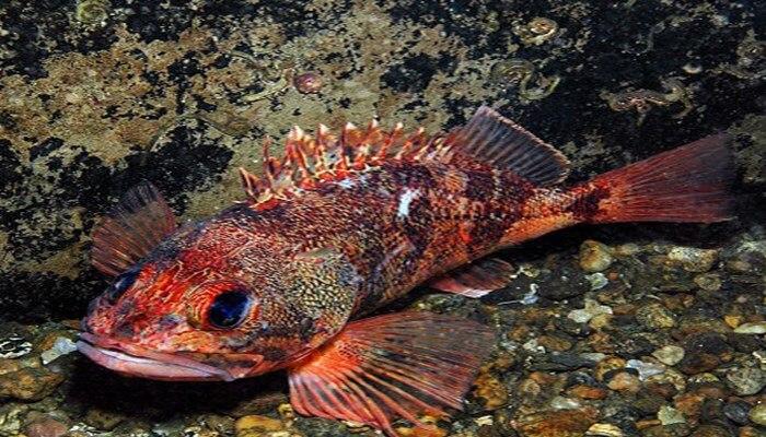 Alimentación del pez chancharro