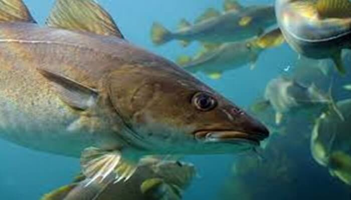 Curiosidades del pez eglefino