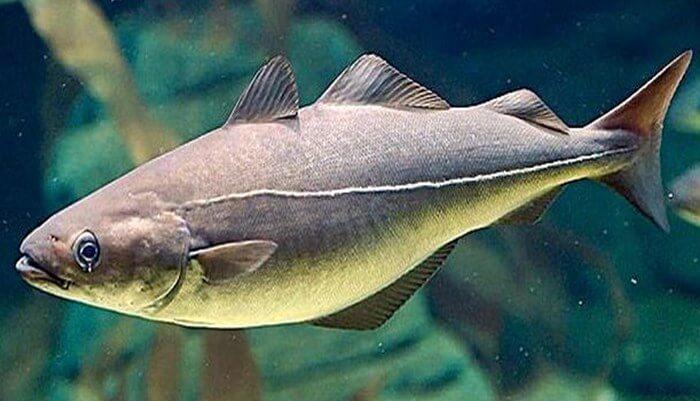 Relación entre el pez eglefino y el hombre