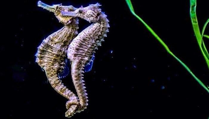 omo es la reproducción de los caballitos de mar