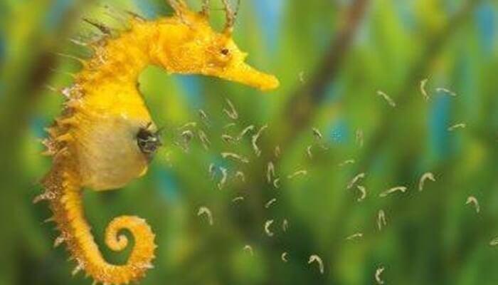 eproducción de los caballitos de mar