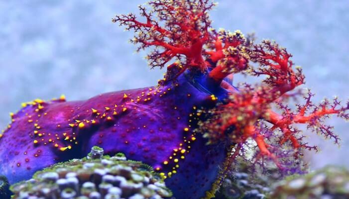 Reproducción de la manzana de mar