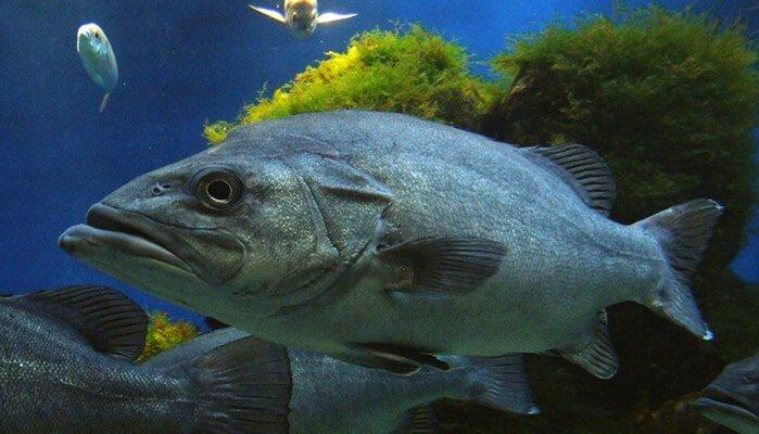pez Chernia