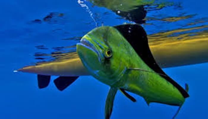 pez dorado de mar