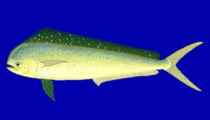 Características del pez dorado de mar