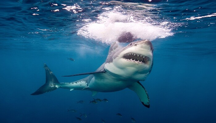 tiburón blanco españa