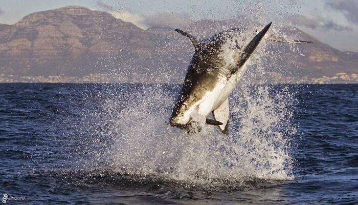 Tiburón alimentándose