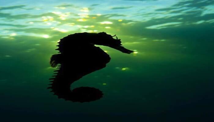 vida de los caballitos de mar
