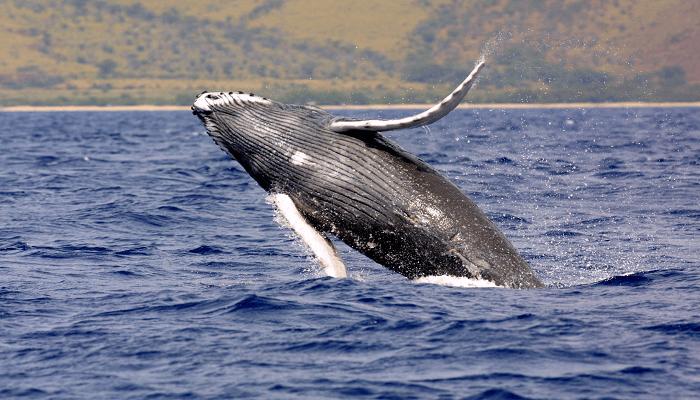 ballenas samaná