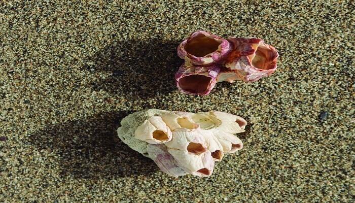 bellota de mar