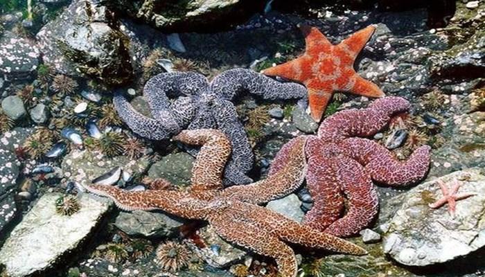Las estrellas de mar