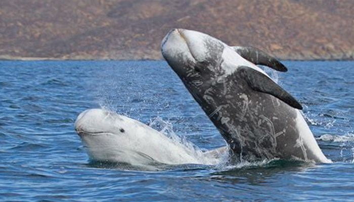 Delfín calderón gris o delfín gris