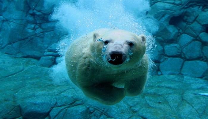 descripcion del oso polar