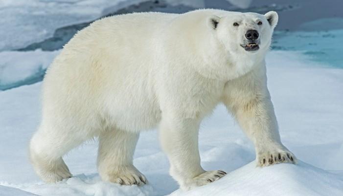 Nutrición del oso polar