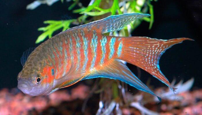 pez paraíso