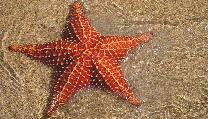 Características de la estrella de mar