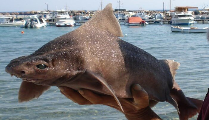 tiburón cerdo